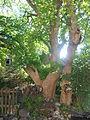 Wiener Naturdenkmal 95 2015-06-21 Bergahorn Wien19 Cobenzlgasse32 GordanaP c.JPG