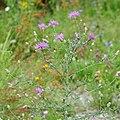 Wiesen Flockenblume, Centaurea jacea 2.JPG