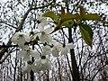Wild Cherry blossom along Swin Dale - geograph.org.uk - 1360214.jpg