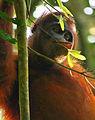 Wild Orangutan.jpg