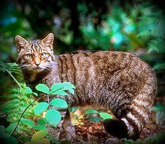 Felis - F. s. silvestris: a European wildcat in Germany