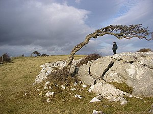 English: Windblown trees You'll never guess wh...