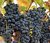 Wine grapes07.jpg