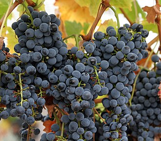 Ripeness in viticulture - Grapes ripening on the vine.