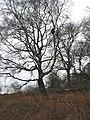 Winter birches on Midsummer Hill - geograph.org.uk - 646405.jpg