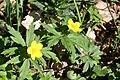 Wiosenna dziewiątka.Zawilec żółty (Anemone ranunculoides L.) - panoramio.jpg