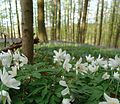 Wood Anemones in Belgium.jpg