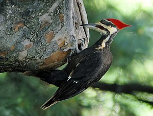 Woodpecker - Pileated woodpecker