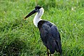 Woolly Necked Stork in Kaudulla.jpg