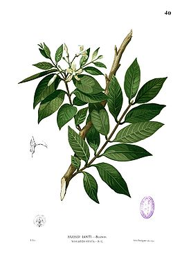 Wrightia pubescens Blanco1.40.jpg
