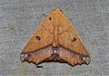 Xanthanomis vomeroi (Erebidae- Catocalinae) (6564955075).jpg