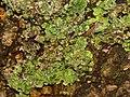 Xanthoria parietina 105900685.jpg