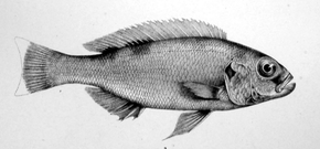 Description de l'image Xenochromis.png.