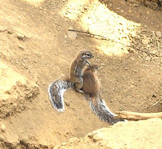 Cape ground squirrel - Image: Xerus inauris