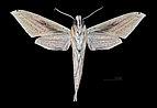 Xylophanes loelia MHNT CUT 2010 0 178 Camopi Oyapock Guyane Française Male ventral.jpg