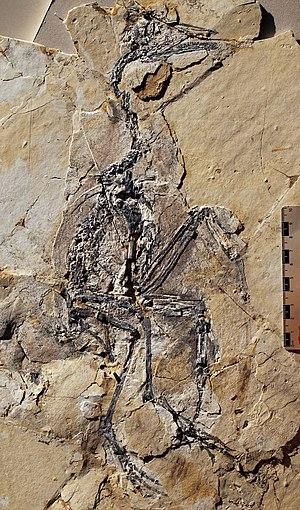 Yanornis - Fossil specimen of Y. martini