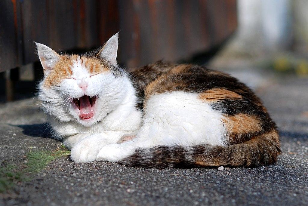 Yawning Calico (DFdB)