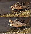 Yellow-throated Sandgrouse - couple drinking and spitting water.jpg