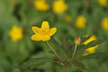 Yellow Anemone - a sign of spring (5649739007).jpg