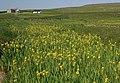 Yellow Flag Iries (Iris pseudacorus), Uyeasound - geograph.org.uk - 1378779.jpg