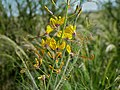 Yellow Mouse Whiskers (Cleome angustifolia) (6875329374).jpg