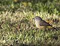 Yellow rumped thornbill 2 (17543584815).jpg