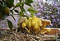 Yellowmushrooms.jpg