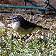 Yellowrumpedthornbill.jpg