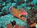 Yellowsaddle Goatfish getting cleaned.jpg