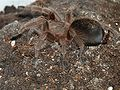 Young.grammostola.rosea.lateral.jpg