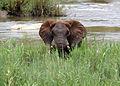 Young elephant.jpg