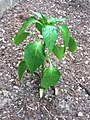 Young habanero plant.jpeg