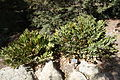 Zamia furfuracea - Leaning Pine Arboretum - DSC05547.JPG