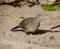 Zebra or Barred Ground Dove. Geopelia striata - Flickr - gailhampshire.jpg