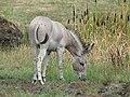 Zoo d'Arcachon - Âne de Somalie - 2014-07-19 - img 2277.jpg