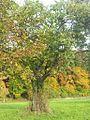 Zwetschgenbaum von Othmarsingen.jpg