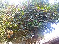"""""""Arya"""" Ficus elastica Pilangsari 2019 1.jpg"""
