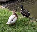 'Anas hybrid' Mallard pair at Henham Essex England.jpg