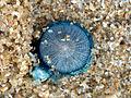 (Porpita porpita) Blue button at Thotlakonda Beach 05.JPG