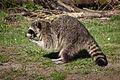 * Raccoon.jpg