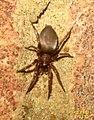 ? Woodlouse spider (FG) (5938254604).jpg