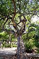 Árvore do Passeio Público de Fortaleza - 2.jpg