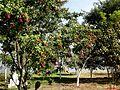 Árvores nativas e frutíferas, ao fundo o pier. - panoramio.jpg