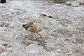 Выборг, общительная чайка на Рыночной площади зимой (2).jpg