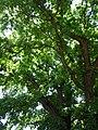 Віковий дуб (Одеса), 2018 рік, травень. 03.jpg