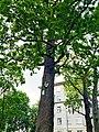 Віковий дуб на Вишгородськiй 01.jpg