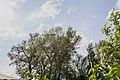 Група вікових дерев тополі білої 12.jpg
