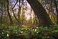 Захід в долині лісової анемони.jpg