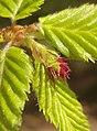 Келяв габър – женски цветове 2.jpg