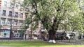 Клен Яворницького 05.jpg